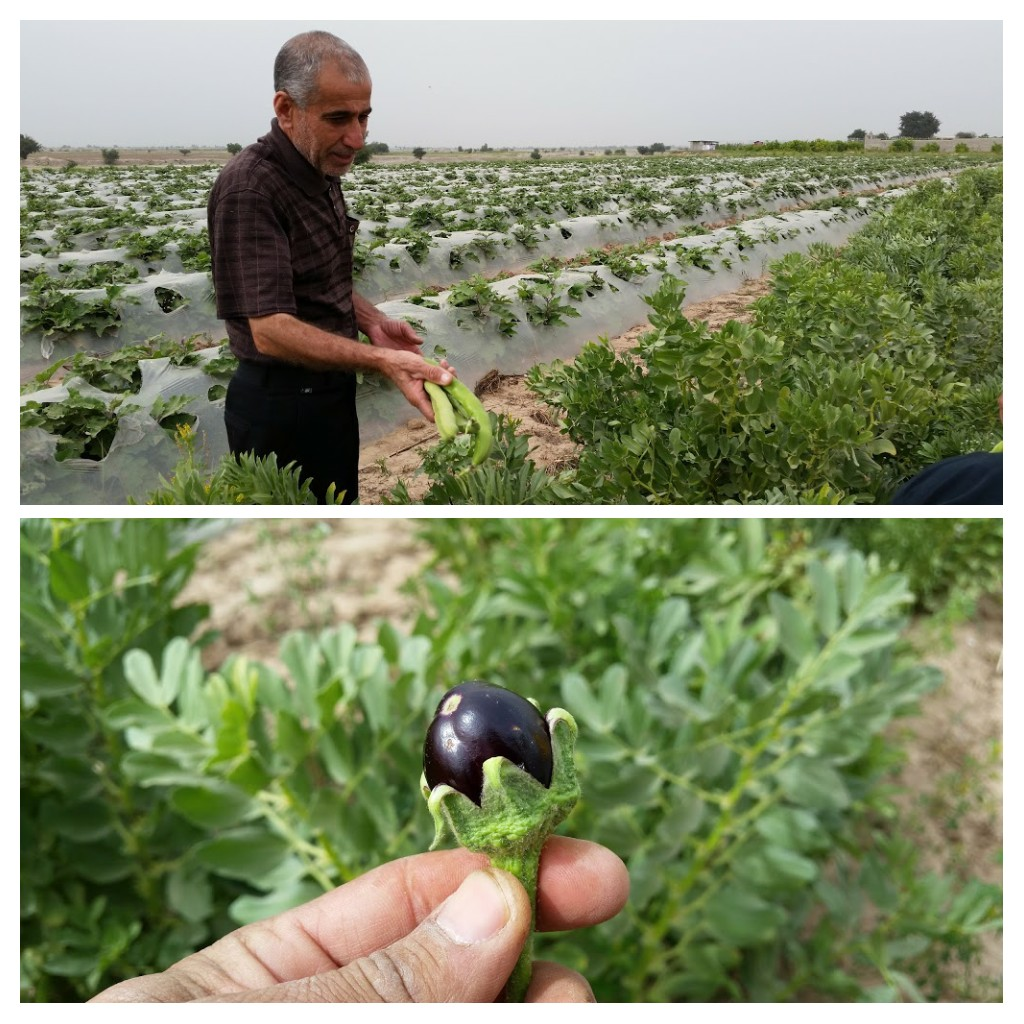 Farmer in Dezful with his bean crops and a little aubergine.